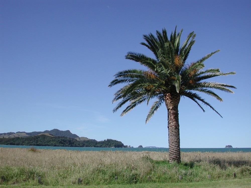 palm_tree_at_buffalo_beach2c_whitianga