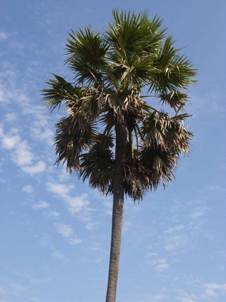 sugar-palm